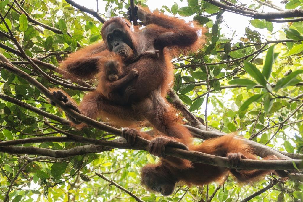 Referensi Tempat Wisata di Indonesia | Orangutan Borneo Taman Nasional Tanjung Puting